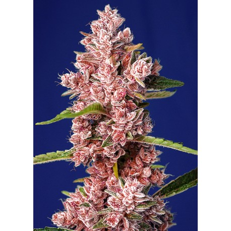 TROPICAN POISON F1 FAST VERSION SWEET SEEDS
