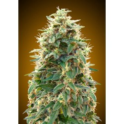 00 SEEDS BANK AUTO 00 CHEESE