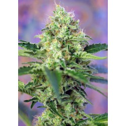SWEET SEEDS CRYSTAL CANDY