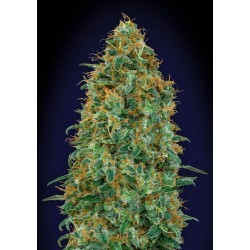 00 SEEDS BANK BLUEBERRY