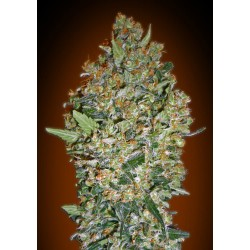 00 SEEDS BANK CHEESE BERRY