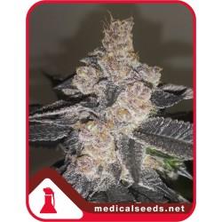 GELATO 242 MEDICALSEEDS